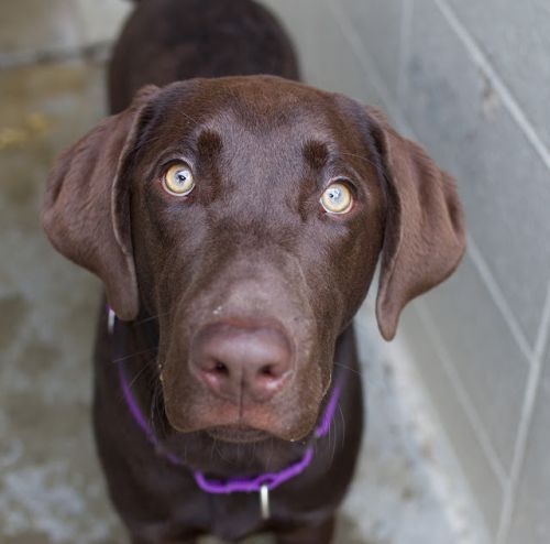 """FINNLEY"" chocolate Lab mix"