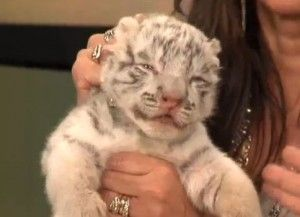The Park Is Getting a Baby Tiger!