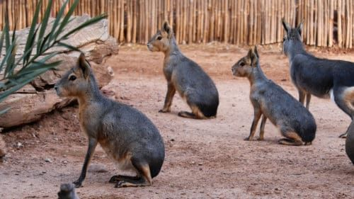 """The """"Cavy"""" Bunch!"""