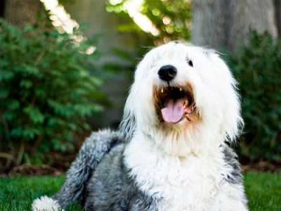 3 Simple Ways To Keep Your Old English Sheepdog's Teeth Clean