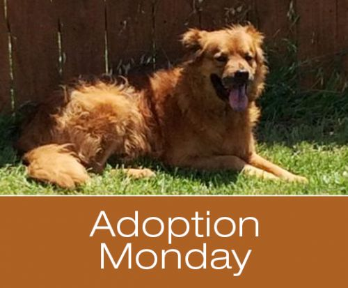 Adoption Monday: Bear, Australian Shepherd & Chow Chow Mix, Killeen, TX