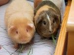 7 Reasons Why Guinea Pigs Make Awesome Pets