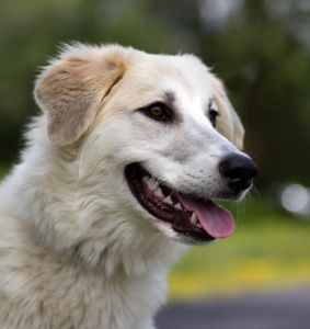 """""""LOLLIPOP"""" silly young Great Pyrenees mix"""