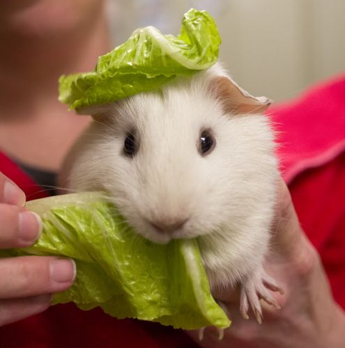 """LILLYETTA LETTUCE HEAD"" happy and social young guinea pig"