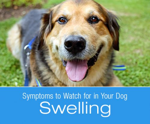Symptoms to Watch for in Your Dog: Swelling