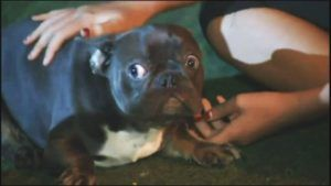 78 French and English Bulldogs Rescued From Puppy Mill In California