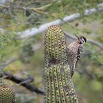 A little Mexican Woodpecker