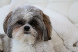 Looking For An Apartment Dog? These 8 Breeds Love The City