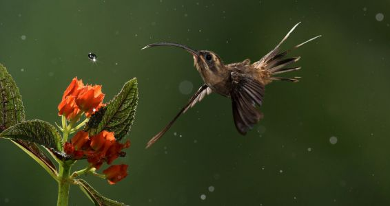 "Brainpower Wins Over Brawn When Male ""Hermit"" Hummingbirds Display for Mates"