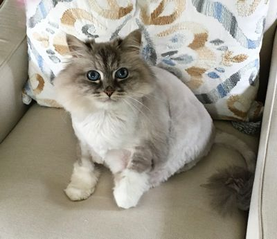 A Purebred Siberian with an Amazing Lineage Needs a Home