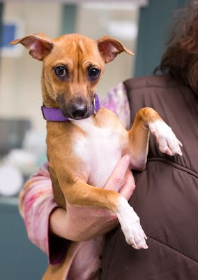 """""""CHILI BEAN"""" curly tailed Chi mix"""