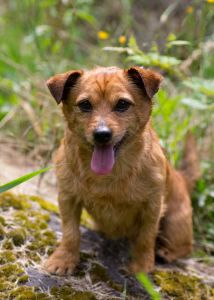 """HERBIE"" pretty adorable - Norfolk Terrier mix"