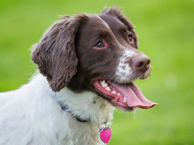 3 Simple Ways To Keep Your English Springer Spaniel's Teeth Clean