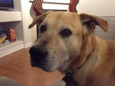 Adoption Monday: Ricky, Yellow Labrador Retriever Mix, Toronto, ON