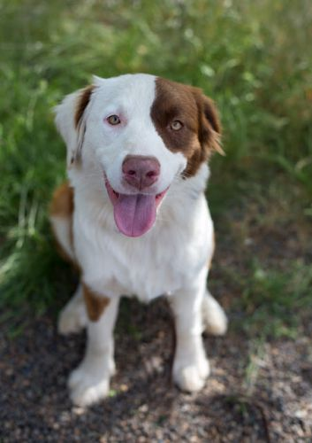 """MAYCEE"" charming fun Border Collie mix"