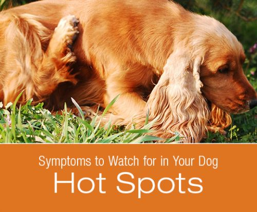 Symptoms to Watch for in Your Dog: Hot Spots
