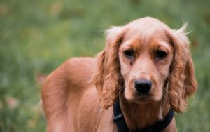 Study Shows CBD Oil May Be Helpful For Dogs With Seizures