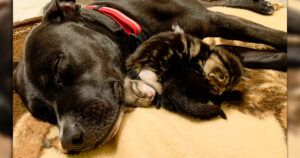 "Once Labeled ""Aggressive"", Pit Bull Showers Love On His Foster Kittens"