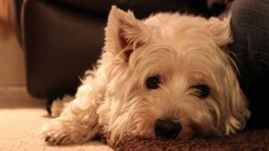 Choosing The Best Joint Supplement for a Westie