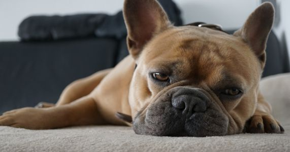 Aspirin For Dogs: Uses, Dosages, And Side Effects