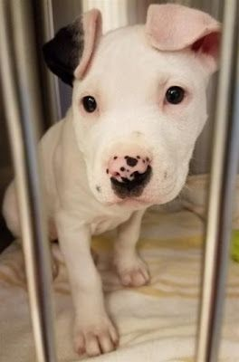 """ANNIE"" SuperCute 9 weeks ""special needs"" Pitbull puppy"