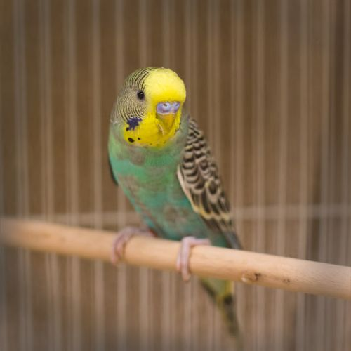 """ CLIPPER"" male Budgie"