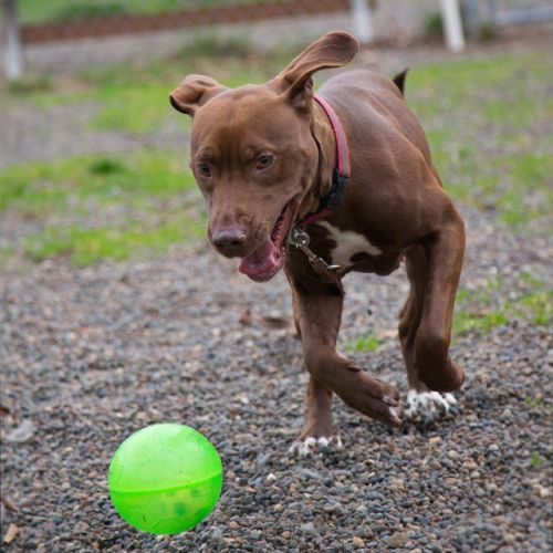 """""""GIRLIE"""" young Lab/pitmix loves to run and play"""