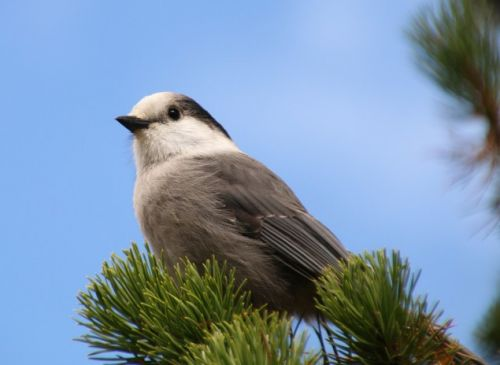 The Gray Jay becomes the Canada Jay