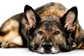 """Seattle Animal Shelter Foundation to honor retiring police K9 """"Ziva"""" at annual auction on Oct. 14"""