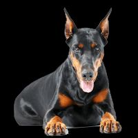 Breed: Doberman
