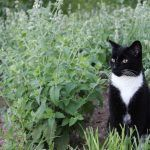 Grow Your Own Catnip This Summer