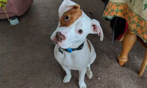 Deaf Dog Surrendered 5 Times Shows Off His Skills With Sign Language