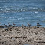 North from Alaska: The Surfbirds return to Mexico