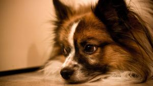 Choosing The Best Joint Supplement for a Papillon