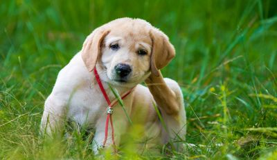 Fleas And Ticks In Dogs - All The Health Risk
