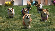 You're Not Emotionally Prepared For These Racing Corgis
