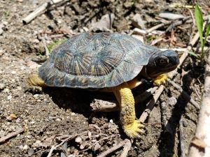 Threatened Wood Turtles Released Back Into the Wild