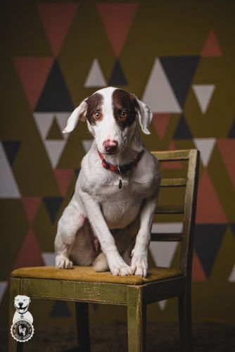 """PRIMROSE"" petite pretty and sensitive German Shorthaired Pointer mix - Family Dogs New Life Shelter"