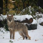 WildEarth Guardians: Ending the War on Wildlife in New Mexico