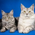 Don't Sugar Coat It: The Best Diets for Cats with Diabetes