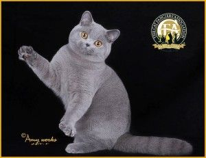 Meet the British Shorthair