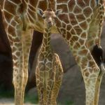 'Use It or Lose It': Addressing Female Infertility in Zoo Populations