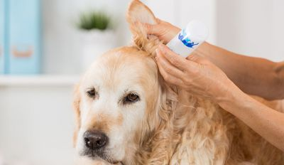 Ear Infection In Dogs: Symptoms And Treatment