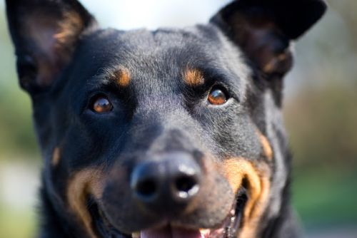 """KENJI"" big cuddle bug Rottie mix"