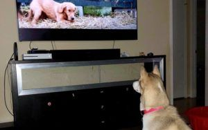 Why Do Some Dogs Watch TV?