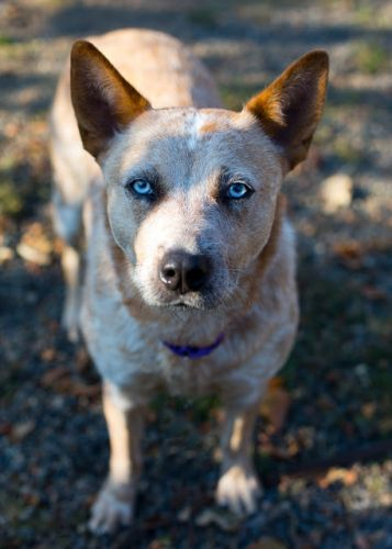 """ MADDY"" delightful Cattle Dog"