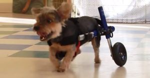 Disabled Yorkie Is Rolling Her Way Into A New Family With Her New Wheelchair