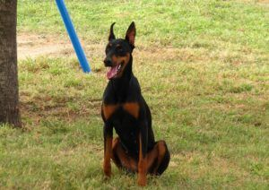 How To Teach Your Doberman To Stay