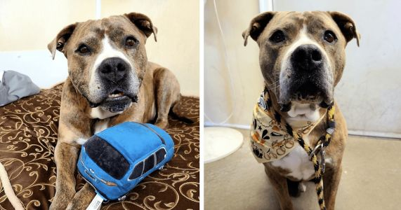 Lonely Pit Bull Mix Still Needs A Home After 722 Days And Counting