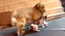 Golden Retriever Plays Peacemaker, Stops Cat Fight Before It Even Starts